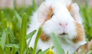 Продаются морские свинки в США