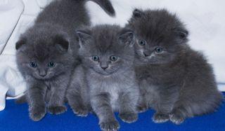 Продаём пушистых шотландских котят