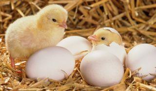 Инкубационное яйцо и суточные цыплята кобб 500